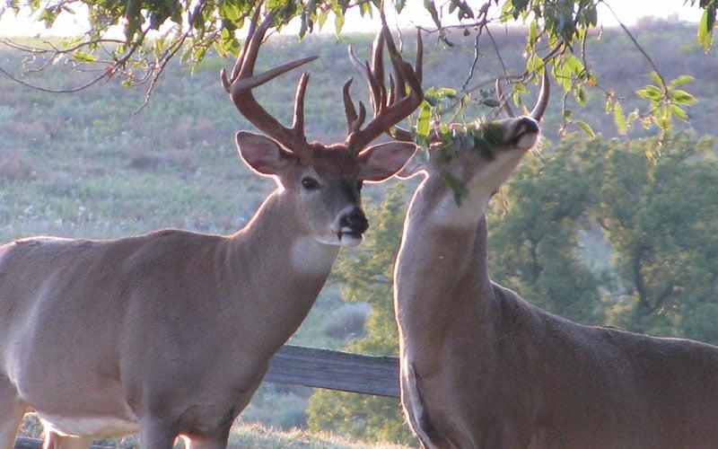 Bucks-in-the-Yard-092509-035