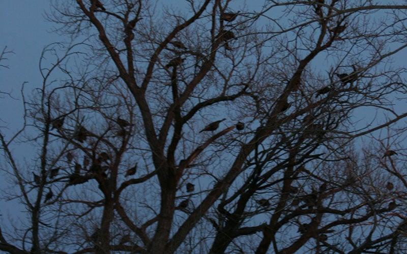 Roosting-turkeys