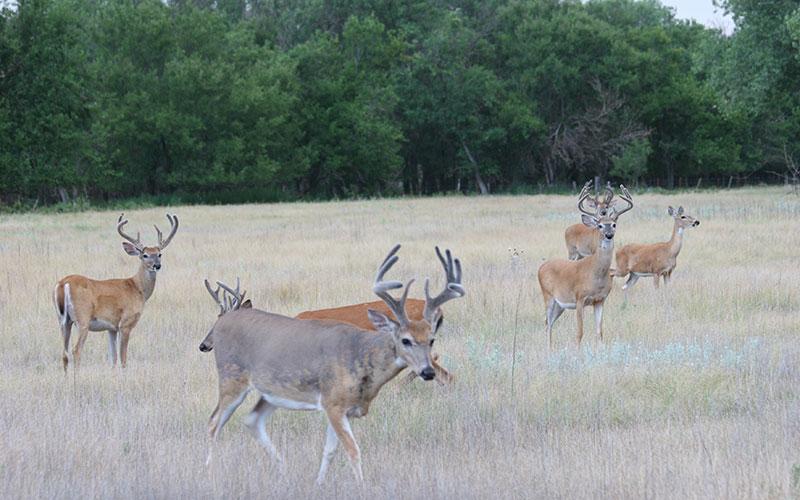buck-hunting