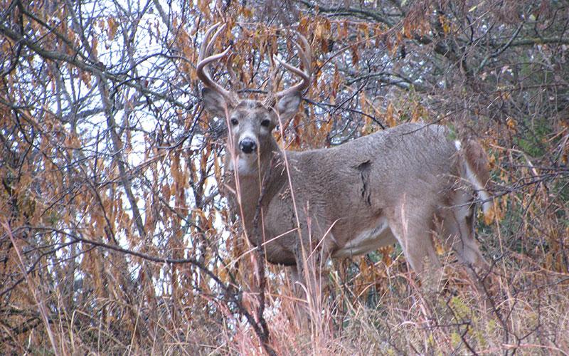 deer-in-btush