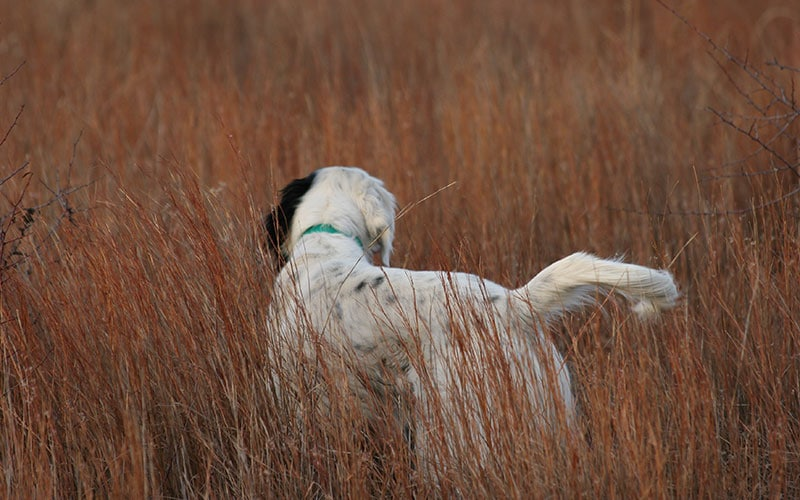 dog-on-quail-hunt
